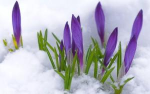 crocus-in-snow